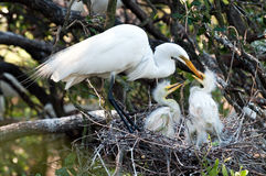 Feeding the chicks. Great white egret feeding chicks in the nest in Florida Stock Photo