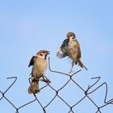 feeding Chicks bird on old fence netting Royalty Free Stock Image