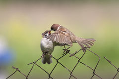 Feeding Chicks bird on old fence netting Royalty Free Stock Images