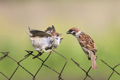 Feeding Chicks bird on old fence netting Stock Image