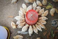 Feeding chicks Royalty Free Stock Image