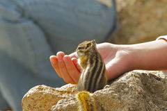 Feeding chipmunk. A hungry chipmunk takes a handout of sunflower seeds Royalty Free Stock Image