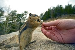 Feeding Chipmunk Stock Image