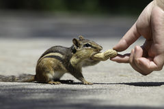 Feeding Chipmunk Stock Photography