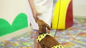 Feeding a circus dog. Circus dog in gratitude feed stock footage