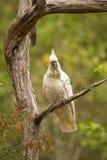 Feeding Cockatoo in Australia Royalty Free Stock Images