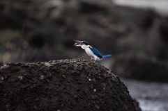 Feeding Collared Kingfisher Tossing Shrimp Royalty Free Stock Photo