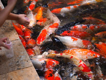 Feeding colorful koi or carp Royalty Free Stock Images