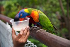 Feeding colorful parrots Royalty Free Stock Image