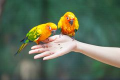 Feeding Colorful parrots Stock Photo