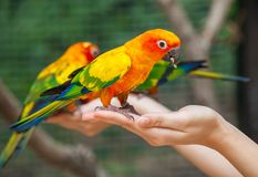 Feeding Colorful parrots Royalty Free Stock Photos