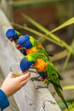 Feeding Colourful Parrot Rainbow Lorikeets. Child feeding sweet nectar to Colourful parrot Rainbow called Lorikeet, sitting on the branch of a tree in a zoo Royalty Free Stock Image