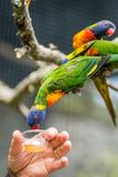 Feeding Colourful Parrot Rainbow Lorikeets. Man feeding sweet nectar to Colourful parrot Rainbow called Lorikeet, sitting on the branch of a tree in a zoo Stock Photography