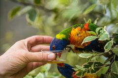 Feeding Colourful Parrot Rainbow Lorikeets. Man feeding sweet nectar to Colourful parrot Rainbow called Lorikeet, sitting on the branch of a tree in a zoo Royalty Free Stock Image