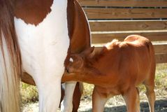 Feeding Colt. Baby colt feeding with mother Royalty Free Stock Photos