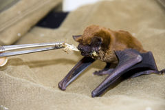 Feeding a bat. Feeding a common noctule (Nyctalus noctula) in a wildlife sanctuary royalty free stock photos