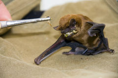Feeding a bat. Feeding a common noctule (Nyctalus noctula) in a wildlife sanctuary royalty free stock photography