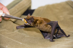 Feeding a bat. Feeding a common noctule (Nyctalus noctula) in a wildlife sanctuary royalty free stock image