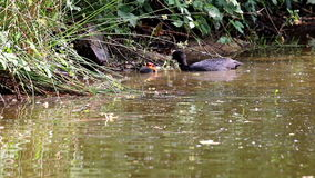 Feeding coot in Voorstonden lake, Holland Royalty Free Stock Images