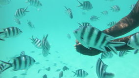 Feeding coral reef fishes. Underwater view of fishes being fed on the coral reefs in the clear coastal waters of Zanzibar island stock footage