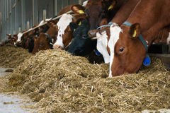 Feeding cow close-up Stock Photos