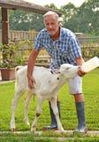 Feeding cow Royalty Free Stock Photography