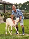 Feeding cow Stock Photography