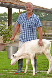 Feeding cow Royalty Free Stock Photo