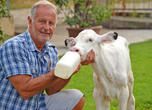 Feeding cow. Farmer feeding a little baby white cow royalty free stock images
