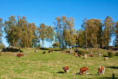 Feeding cows. Royalty Free Stock Photos