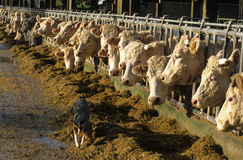Feeding cows Royalty Free Stock Photos