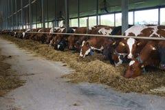 Feeding cows Royalty Free Stock Photo