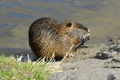 Feeding Coypu (Nutrie) on the Bank of Vltava River, Prague, Czech Republic, Europe Royalty Free Stock Photos
