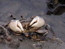 Feeding crab Royalty Free Stock Photo