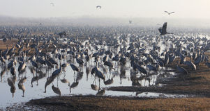 Feeding of the cranes at sunrise in the national Park Agamon of. A flock of migrating cranes is seen at the Hula Lake ornithology and nature park in northern Royalty Free Stock Images