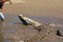 Feeding the crocodile on a river tour on the Tarcoles River Stock Images