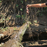 Feeding the crocodile on a river tour on the Tarcoles River Stock Image