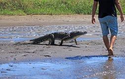 Feeding the crocodile on a river tour on the Tarcoles River Stock Photos