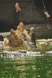 Feeding crocodile Stock Photos