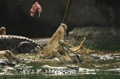 Feeding crocodile Royalty Free Stock Photography