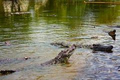 Feeding a crocodile Stock Photography