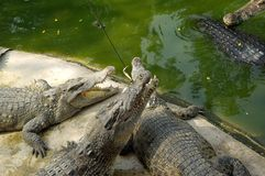 Feeding of crocodiles Royalty Free Stock Photo