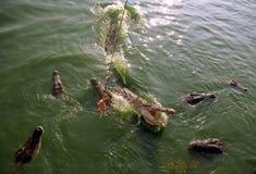Feeding of crocodiles Stock Photography