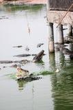 Feeding the crocodiles. Royalty Free Stock Photo