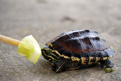 Feeding cucumber to baby turtle Royalty Free Stock Images
