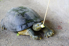 Feeding cucumber to turtle Stock Photography
