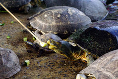 Feeding cucumber to turtle Royalty Free Stock Photography