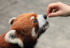 Feeding cute red panda. Red panda being fed with snacks royalty free stock photos