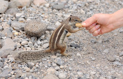 Feeding a cute squirrel Stock Photo