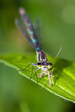 Feeding damselfly Stock Image